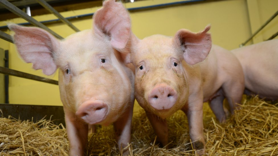 Gene-edited farm animals are on their way