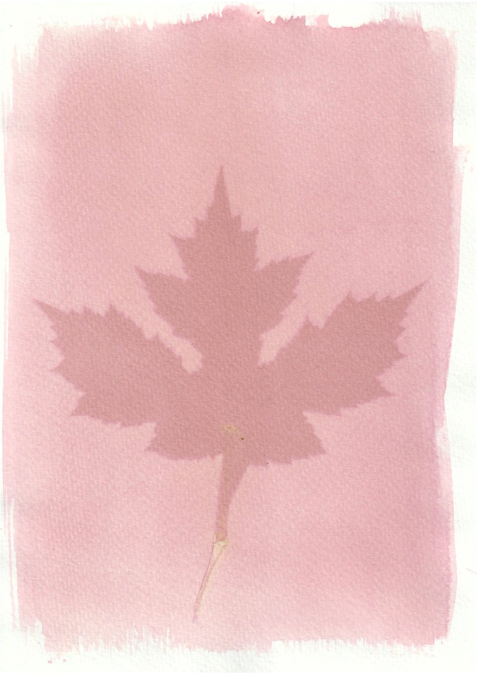 An anthotype print of a large pink leaf