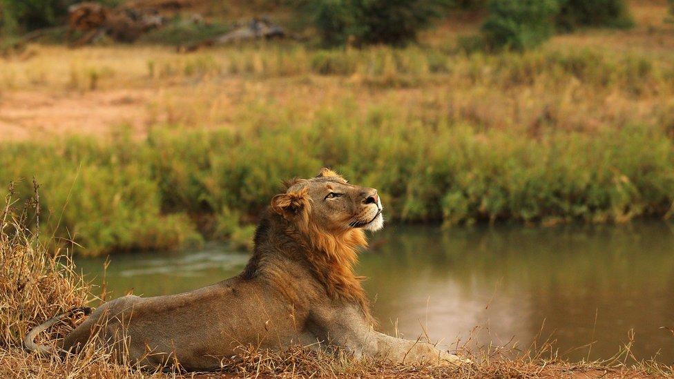 У Південній Африці леви з'їли браконьєра