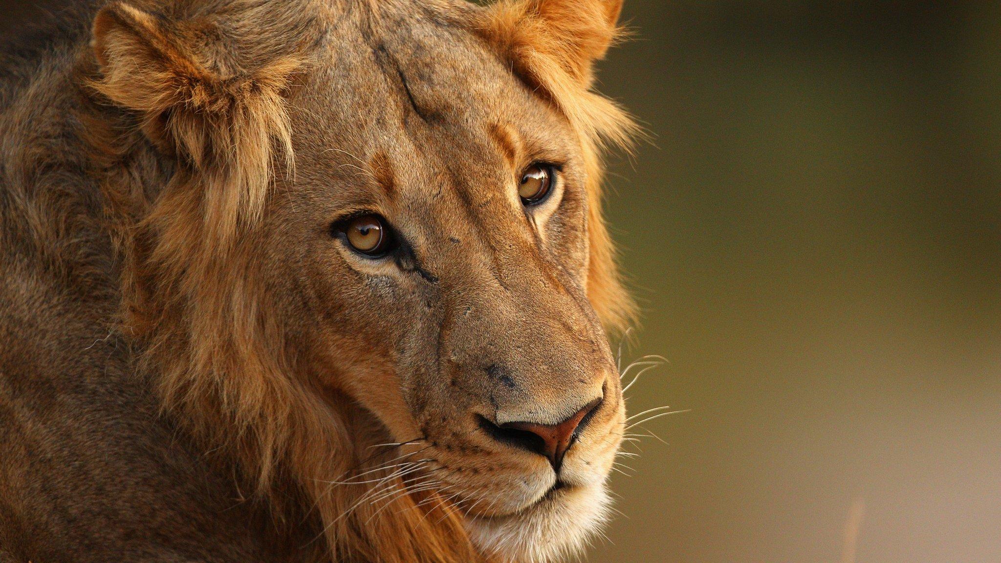 Lion Eats Poacher