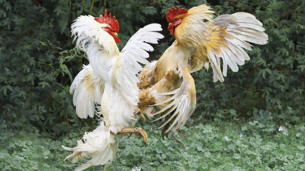 gallos peleando