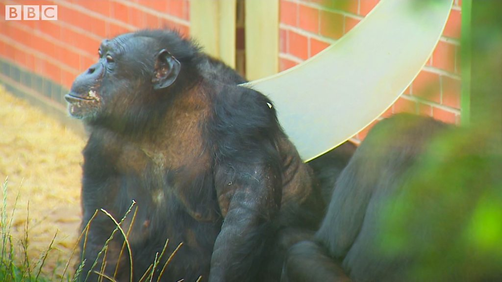 The zoo where chimps 'learn to be chimps'