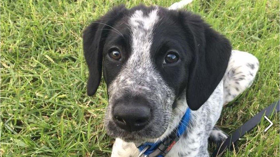Grizz, el perro de raza mixta que mataron en Auckland.