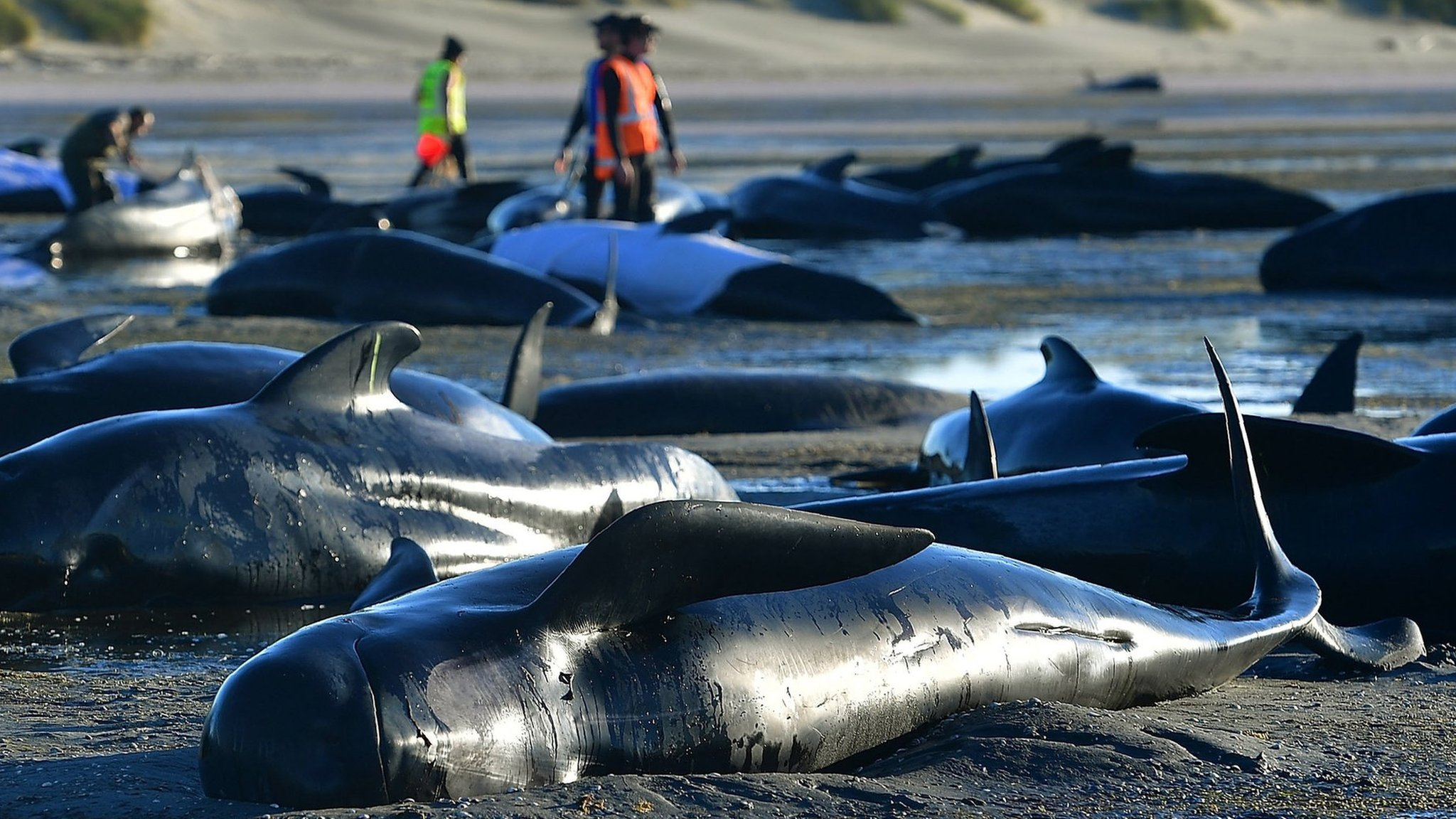 New Zealand whales: Why are so many getting stranded?