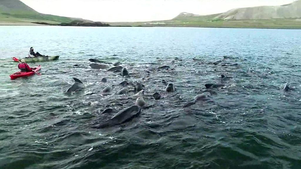 Whales get stuck in Icelandic fjord, twice