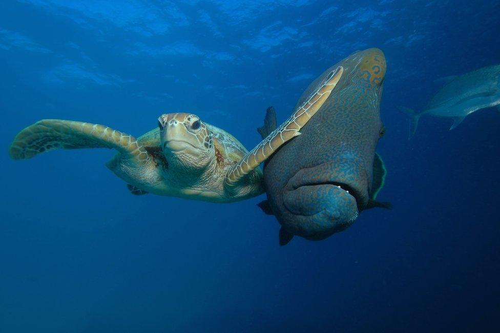 Tortuga dándole un cachetazo a un pez. Foto: Troy Mayne