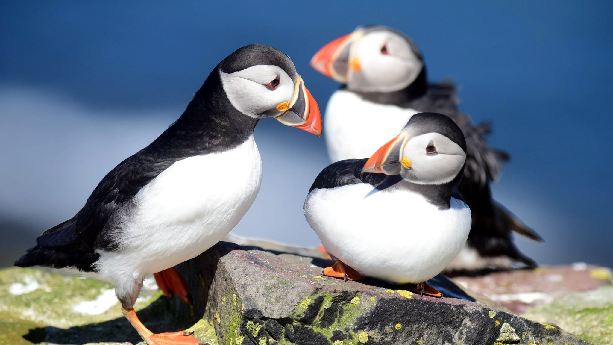 Farne Island puffin numbers on the rise, survey shows