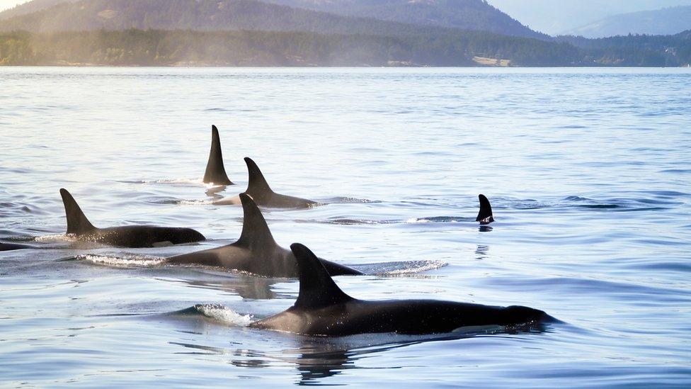 تعيش الحيتان القاتلة في مجموعات