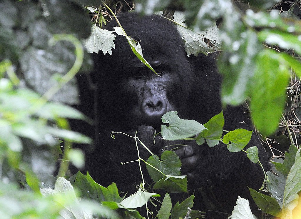 Gorila en Biwidi