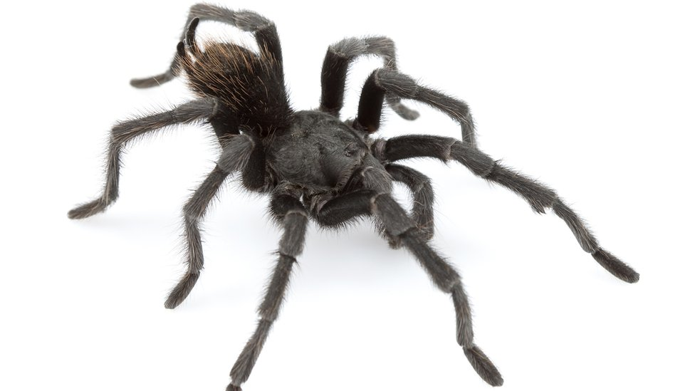New tarantula named after Johnny Cash