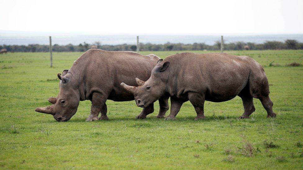 El futuro del rinoceronte blanco del norte depende ahora de que se pueda crear un método exitoso de fertilización in vitro.