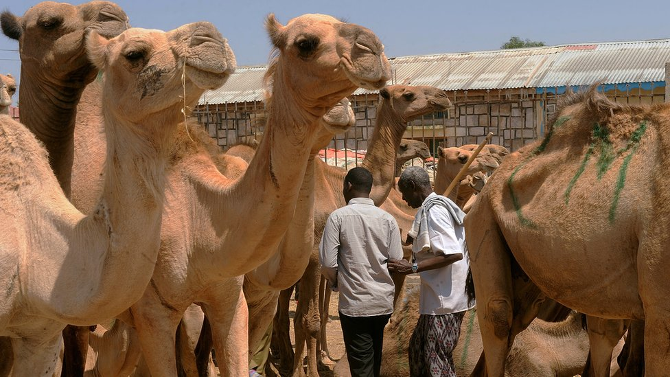 Traders walking past a herd of camels at a livestock market in Hargeisa - the biggest in Somaliland.