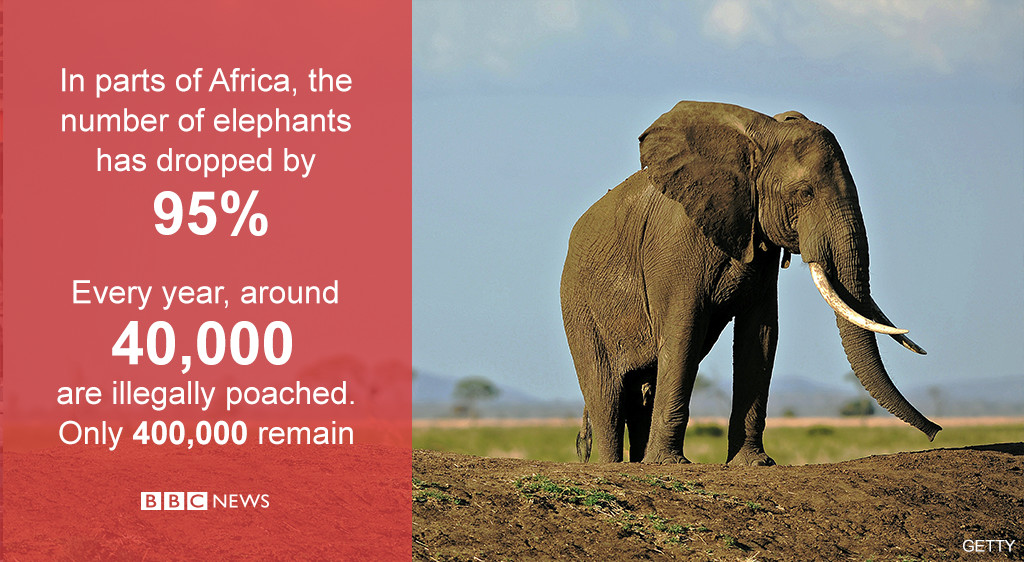 The war on elephants: How the ivory trade threatens their existence