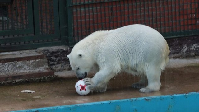 Confederations Cup 2017: Meet Nika, the psychic polar bear who predicts football results