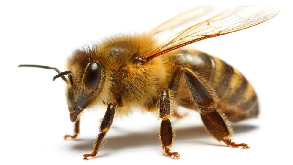 La polinización puede ser controlada con abejas manejadas por un apicultor, o por abejas silvestres.