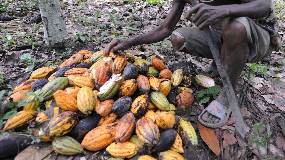 Se espera que el cambio climático tenga un alto impacto en el futuro del chocolate.