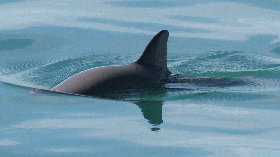 Vaquita en el mar (Foto: NOAA)