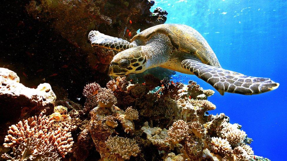 Heatwaves 'cook' Great Barrier Reef corals