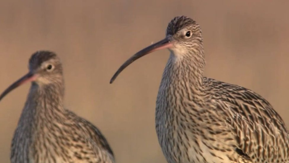 Decline in curlew birds as farming 'destroys habitat'