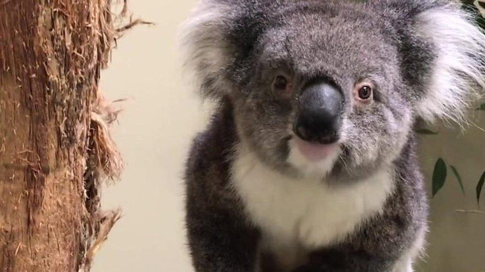 Europe's new koalas arrive at Longleat