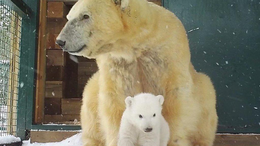 Footage of first polar bear cub born in UK in 25 years