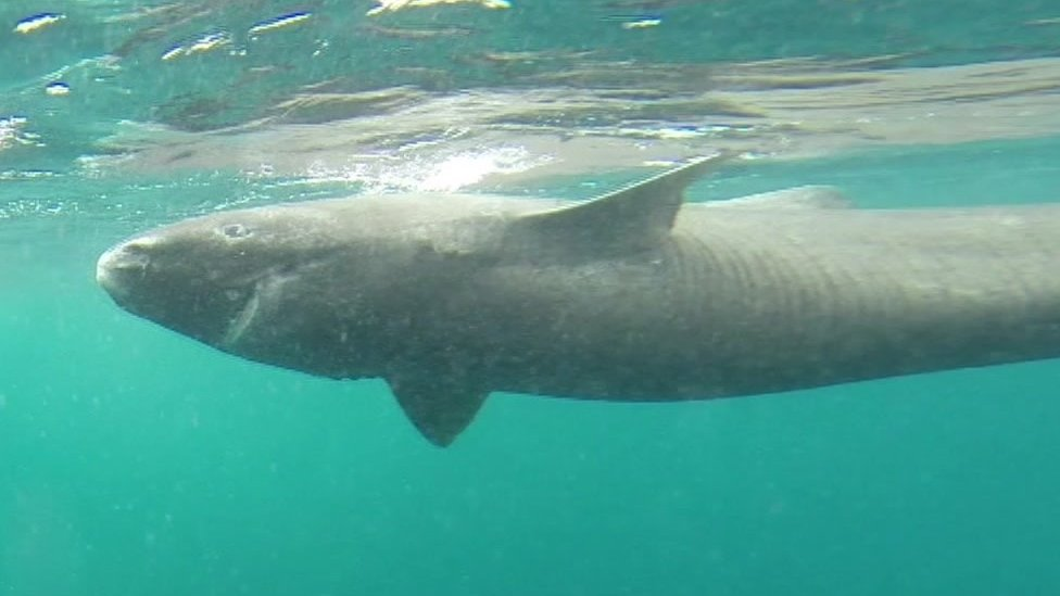 year old greenland shark longest living vertebrate news