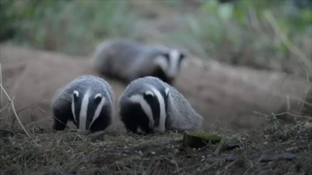'Hundreds' of badgers illegally killed each year in NI