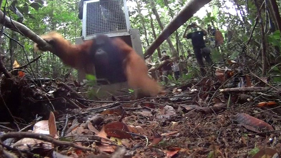 Orangutans return home after Indonesia forest fires