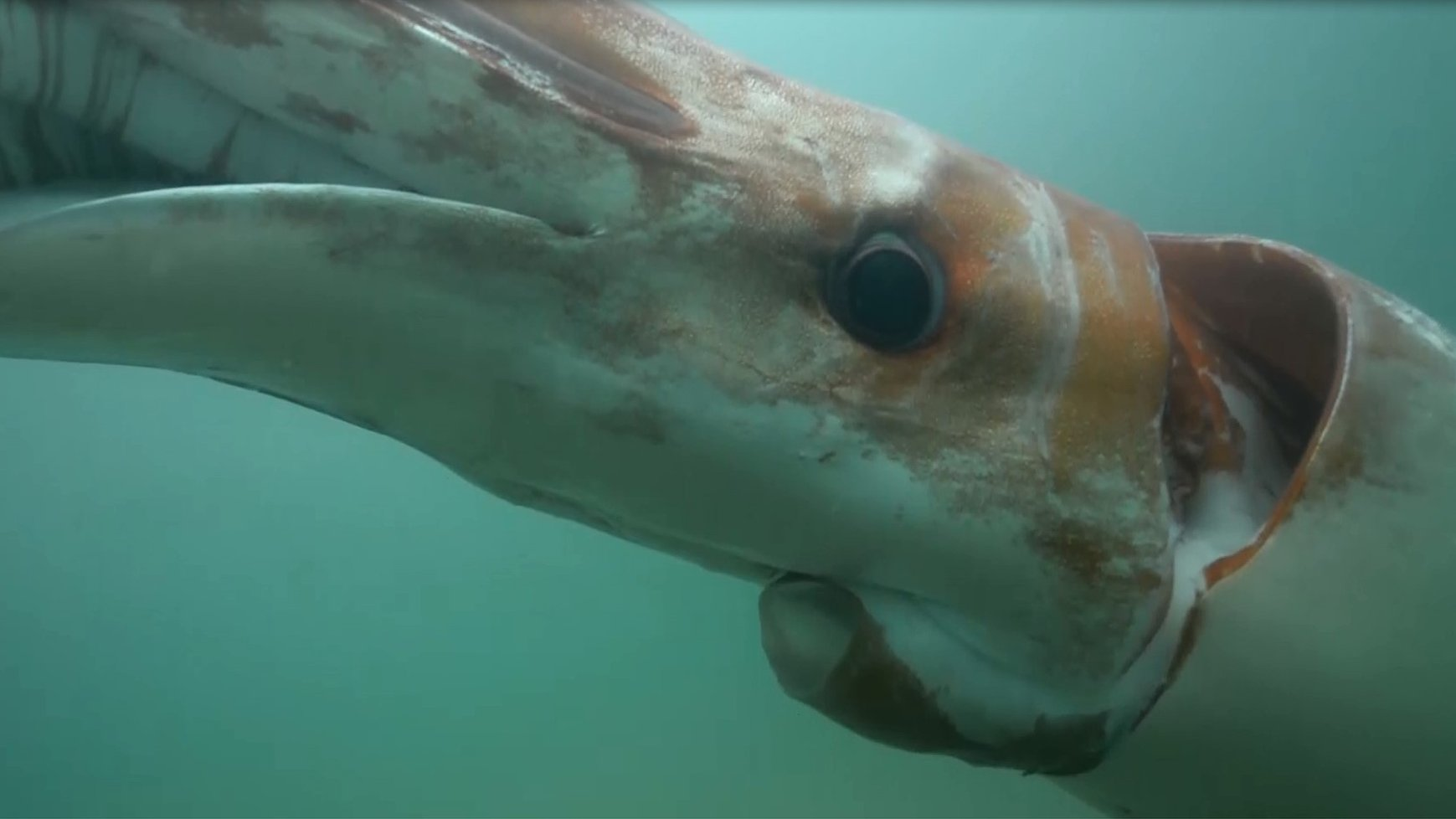 Rare giant squid sighting in Japanese harbour - BBC News