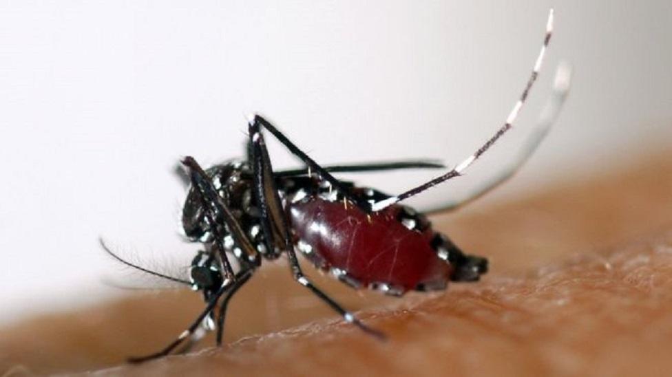 Nyamuk dengue