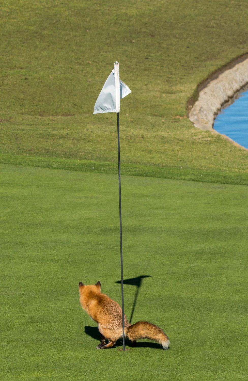 Zorro en un campo de golf. Foto: Douglas Croft.