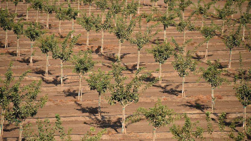 California es uno de los mayores productores de pistachos.