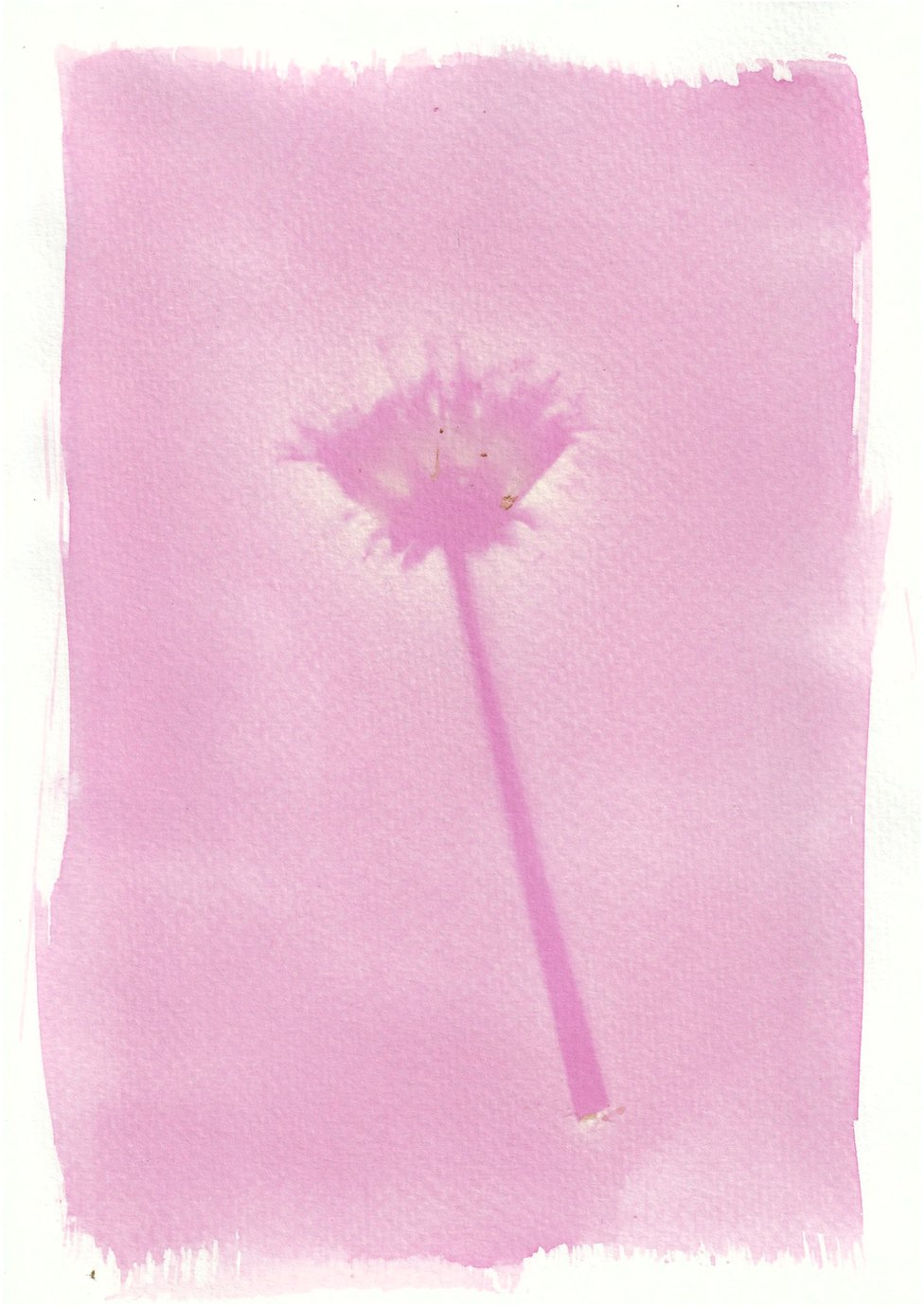 An anthotype print of a purple dandelion