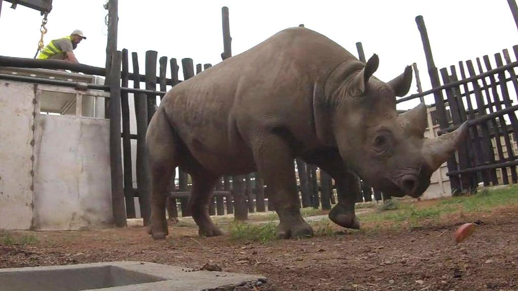 Rhino release: Epic journey to freedom in Rwanda