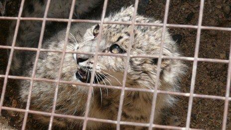 Snow leopards: Numbers decline due to 'retaliation'