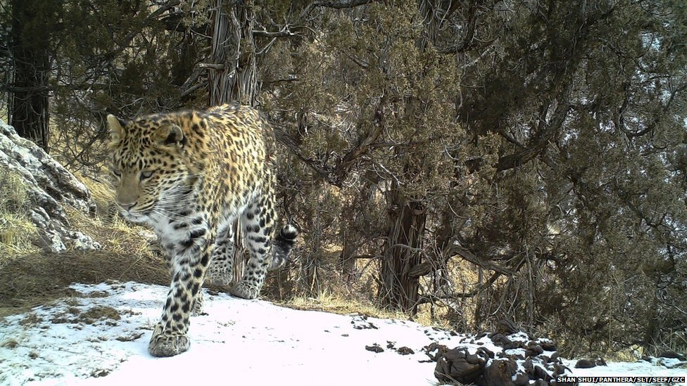 Concerns over first snow and common leopards found in same area