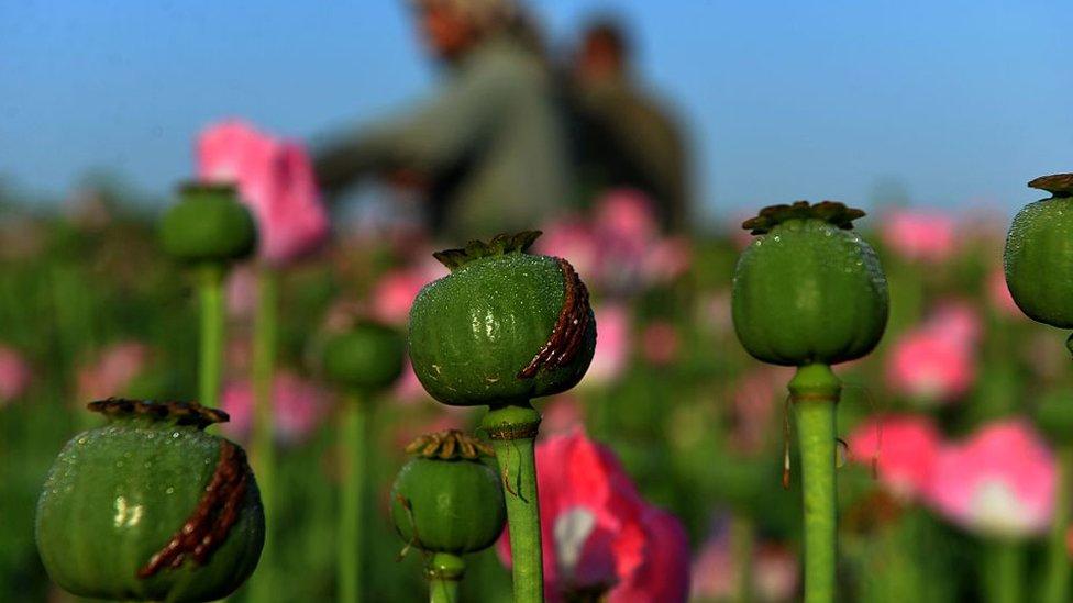 افغانستان میں رواں سال پوست کی کاشت میں 87 فیصد اضافہ: اقوام متحدہ