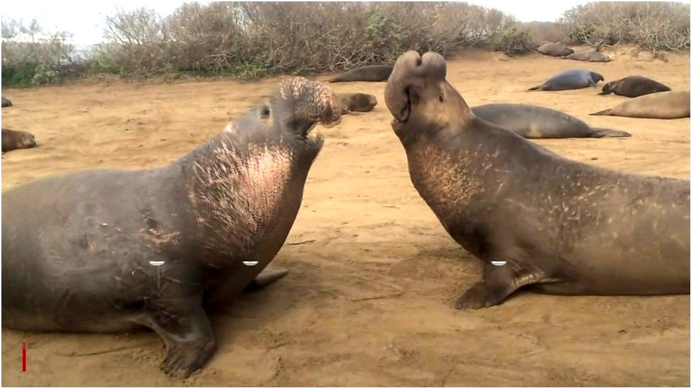 The rather rude sounds of an elephant seal