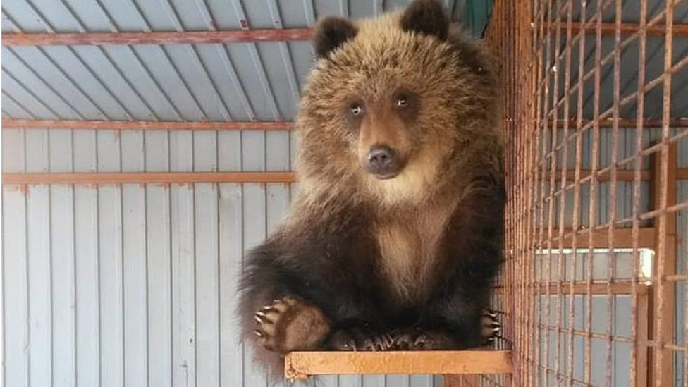 Russians fly orphan bear to new life