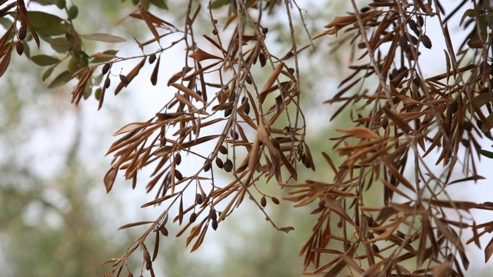 Olive tree killer disease still poses risk to Europe