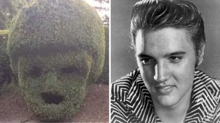 'Elvis Presley hedge' goes on display
