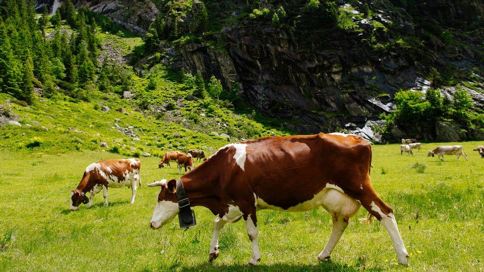 Vacas en los Alpes