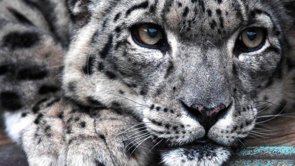 Snow leopard no longer 'endangered'