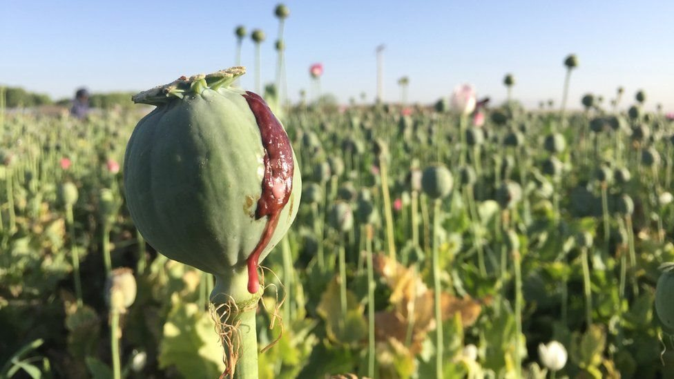 افغانستان کې د نشه یي توکو کاروبار ارزښت ۶.۶ ملیارډ ډالرو ته رسېدلی
