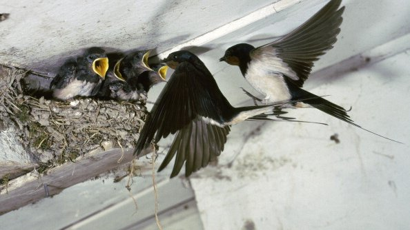 Chinese house demolition halted because of swallow residents