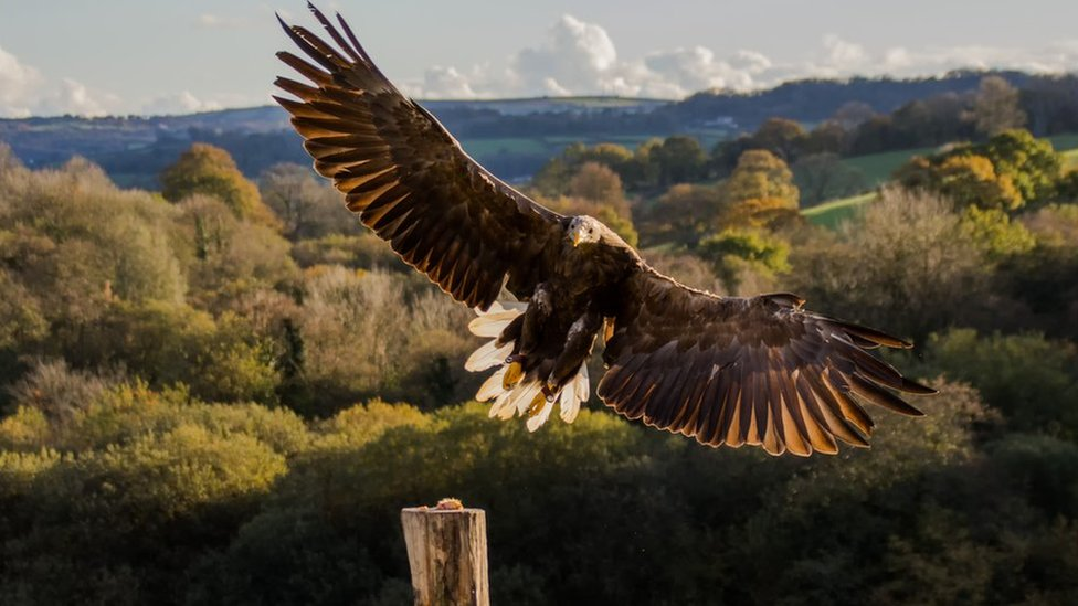 Bid to return Golden and White-tailed eagle species