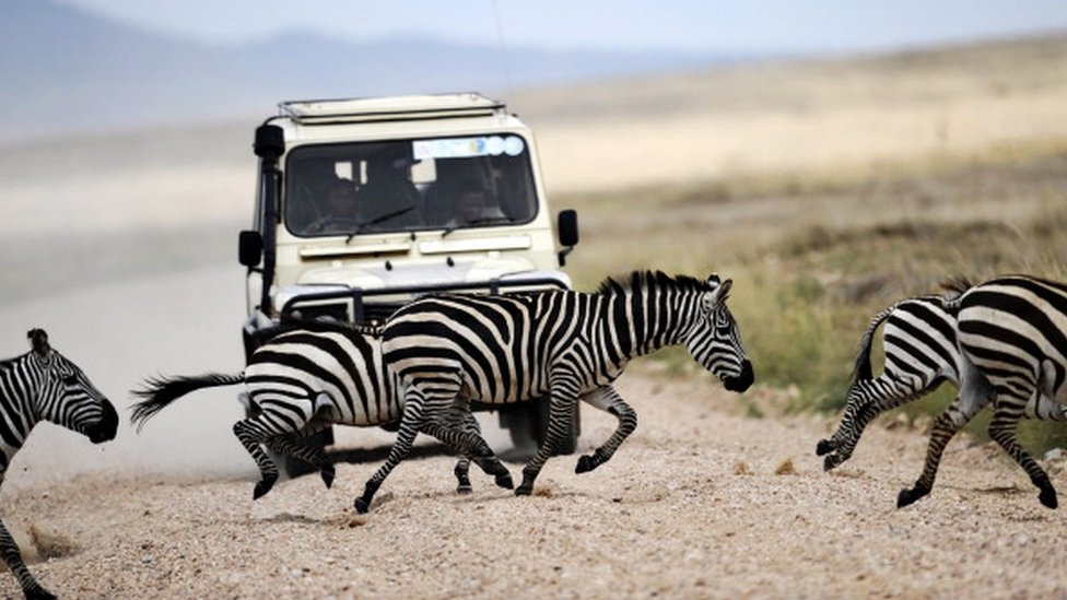 Cebras cruzan camino frente a un carro