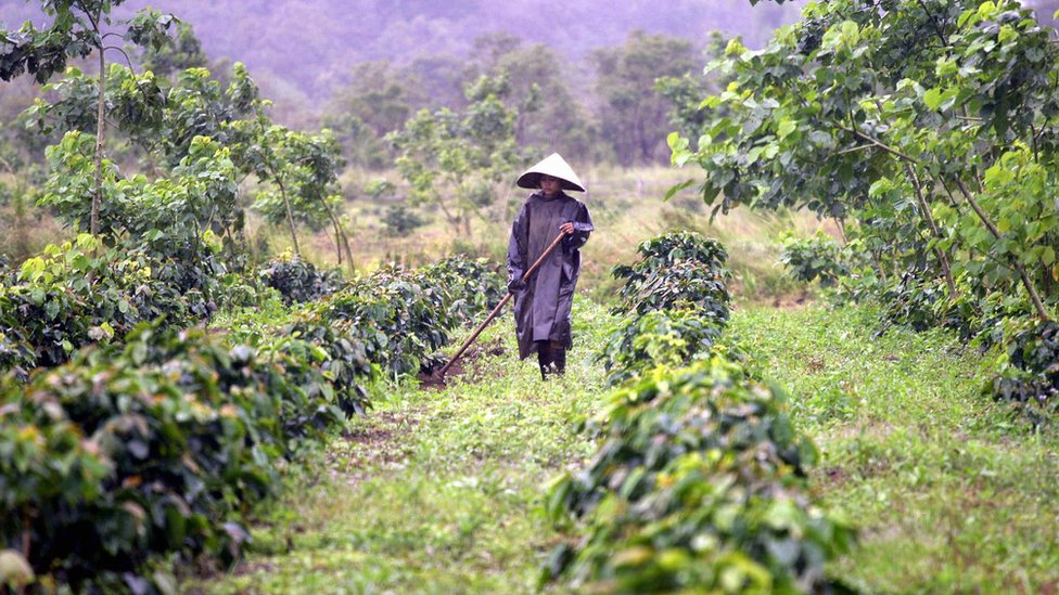 Vietnamita trabajando en cafetales
