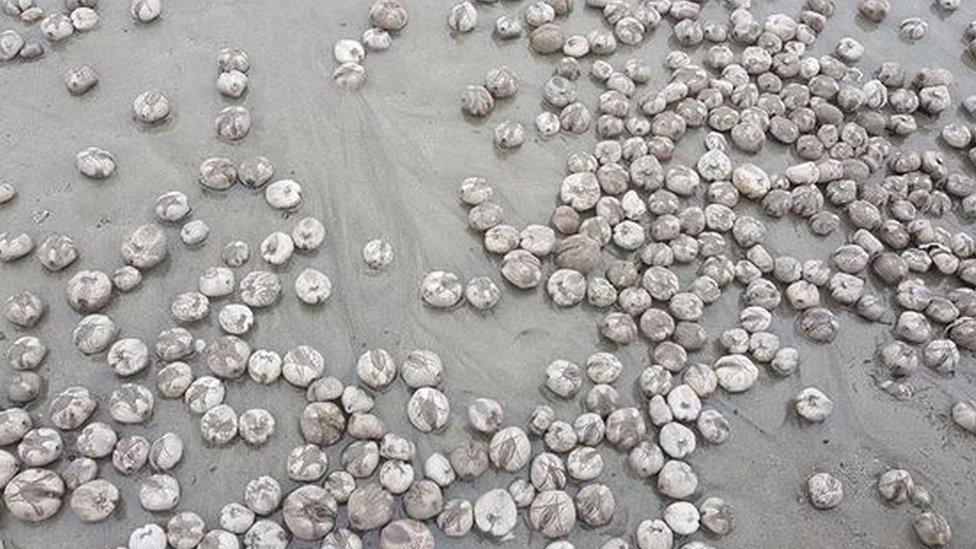 Hundreds of sea potatoes cover Penzance beach