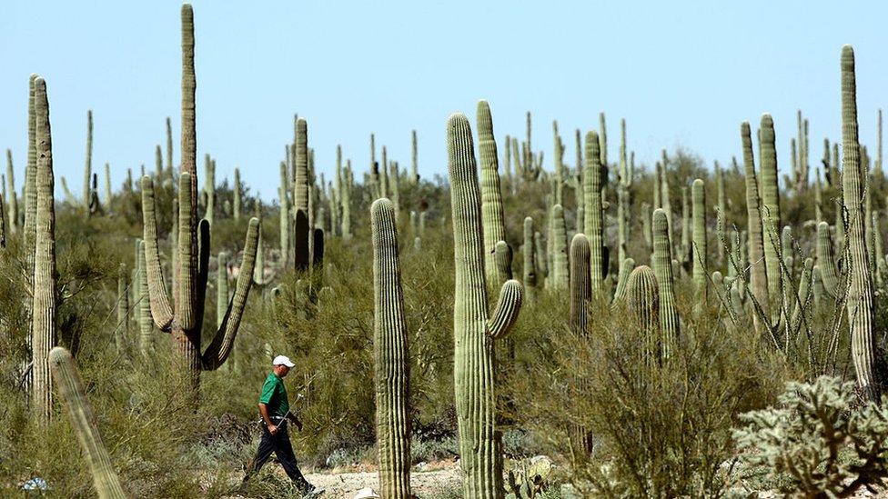 Los saguaros son cactus icónicos del sur de Arizona que pueden crecer hasta 12 metros de alto.